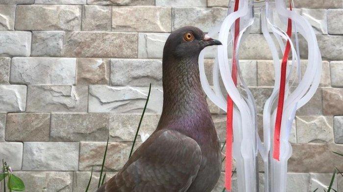 Merpati Milik Warga Bandung Ini Terjual Rp1 M, Pecahkan Rekor Burung Termahal, Ini Keunggulannya
