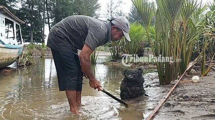 Cuaca Buruk Membuat Nelayan di Kota Padang Memilih Mencari Kerang Lokan