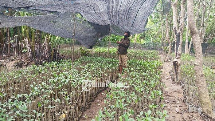 Seorang Pemuda di Padang Inisiatif Kembalikan Hutan Bakau, Diduga karena Aktivitas Penambangan Pasir