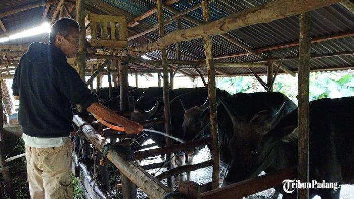 Penjualan Sapi Kurban di Padang Turun Dibanding Tahun Lalu, Pedagang Sebut Dampak Covid-19