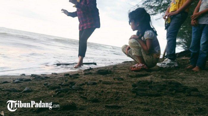 155 Ekor Tukik Dilepasliarkan Bersama Pengunjung di Pantai Pasir Jambak Padang