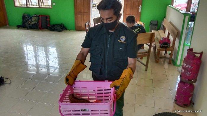 Warga Kabupaten Agam Selamatkan Kukang dari Kabel Listrik, Khawatir Tersetrum Aliran Listrik