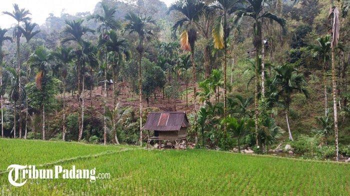 1.000 Ha Lahan Pertanian di Padang Hilang 5 Tahun Terakhir, Beralih Fungsi Jadi Pemukiman