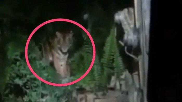 VIRAL Video Harimau Adang Warga di Solok Selatan, BKSDA Sumbar Angkat Bicara