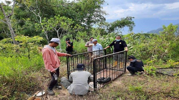 Beruang Kerap Muncul di Agam, BKSDA Pasang 2 Perangkap Besi di Kawasan Kelok 44