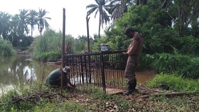 BKSDA Resor Agam Hentikan Penanganan Buaya di Sungai Batang Alahan Anggang