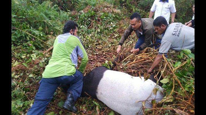 Seekor Tapir Terjerat di Perkebunan Warga, BKSDA Limapuluh Kota Lakukan Penanganan & Dilepasliarkan