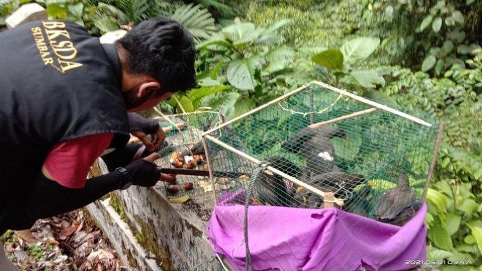 BKSDA Sumbar Lepas Liarkan 32 Ekor Burung Jalak Kerbau di Cagar Alam Maninjau