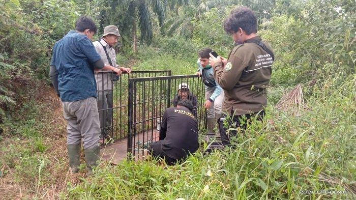 Harimau Sumatera Berkeliaran di Perkebunan Sawit, Petugas BKSDA Pasang Jebakan Dengan Umpan Kambing