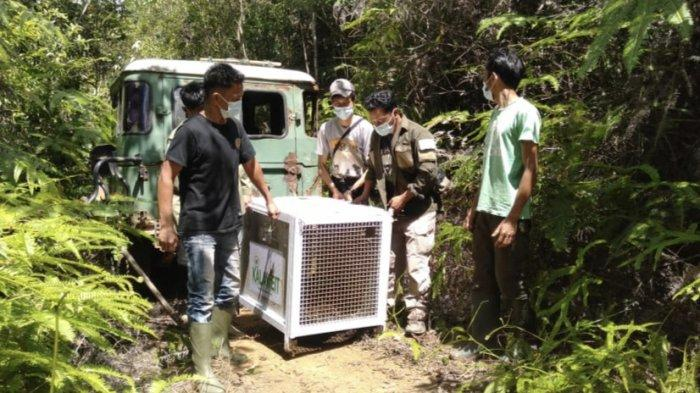 BKSDA Sumbar Lepas Liarkan Macan Dahan di Kabupaten Solok, Sempat Mangsa Beruk Peliharaan Warga