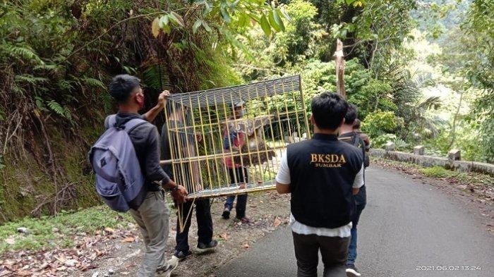 Dua Kukang dan Satu Elang Brontok Dilepaskan, Petugas Resor KSDA Agam Antar ke Cagar Alam Maninjau