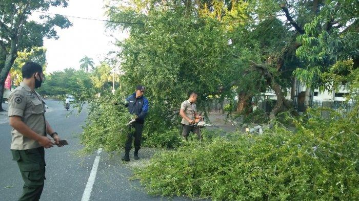 Pohon Tumbang di Jalan Gereja Depan Hotel Grand Inna Muara, BPBD Padang: Pohon Mengalami Pelapukan
