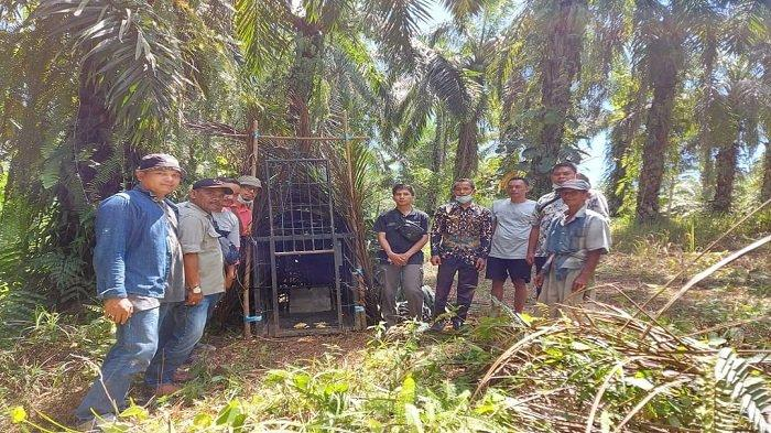 Update Warga Pasaman Barat dan Beruang Madu Bergulat, Tim BKSDA Resor Pasaman Pasang Perangkap