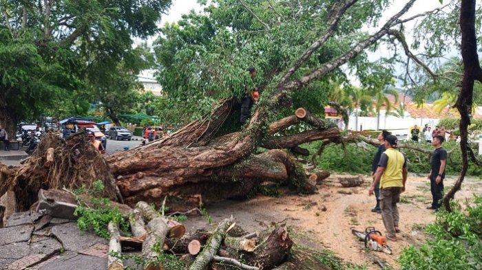 Selain Mobil, Pohon Raksasa Tumbang di Padang juga Timpa Motor, Begini Kondisi Pengendaranya