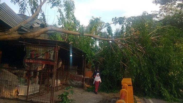 Hujan Deras Disertai Petir dan Angin Kencang di Padang, 3 Pohon Tumbang, Timpa Rumah hingga Kabel