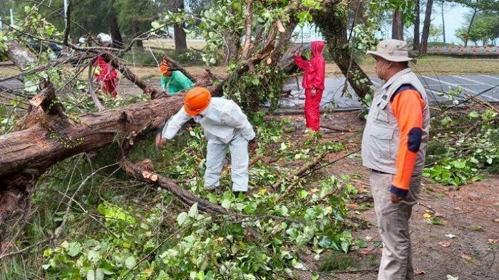 Pohon Cemara Tumbang di Pantai Cermin, Akibat Hujan Lebat Disertai Angin Kencang di Pariaman