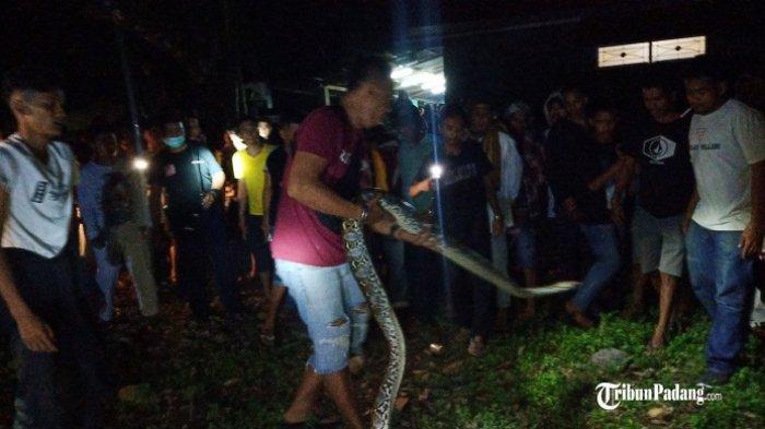Tim Damkar Kota Padang Evakuasi Ular Piton 4 Meter, Warga Ramai Abadikan Pakai Kamera HP