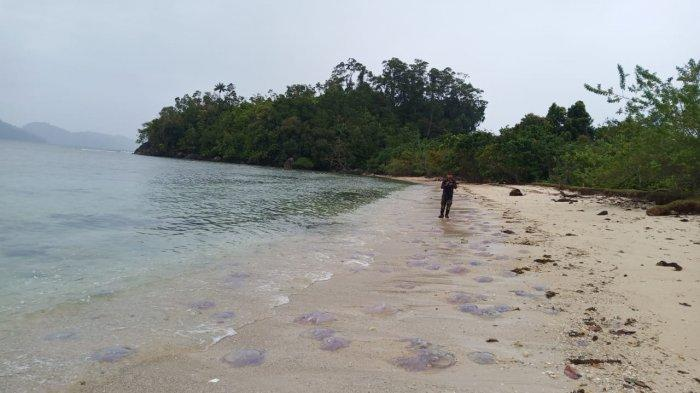 Terungkap, Jenis Ubur-ubur Ini yang Terdampar di Pantai Erong, Sungai Pinang Pesisir Selatan