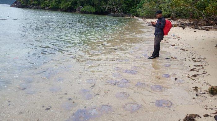 Peneliti KKP Ungkap Penyebab Ribuan Ubur-ubur Invasi Pantai Pesisir Selatan,Dipicu Peningkatan Suhu