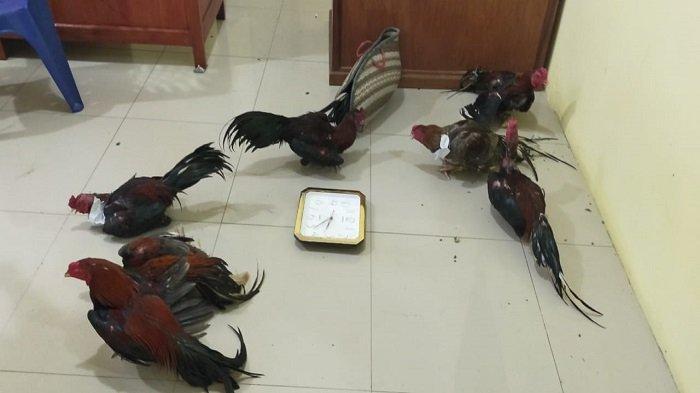 Tim Polres Pesisir Selatan Gerebek Arena Judi Sabung Ayam, Si Pemilik Gelanggang Diamankan