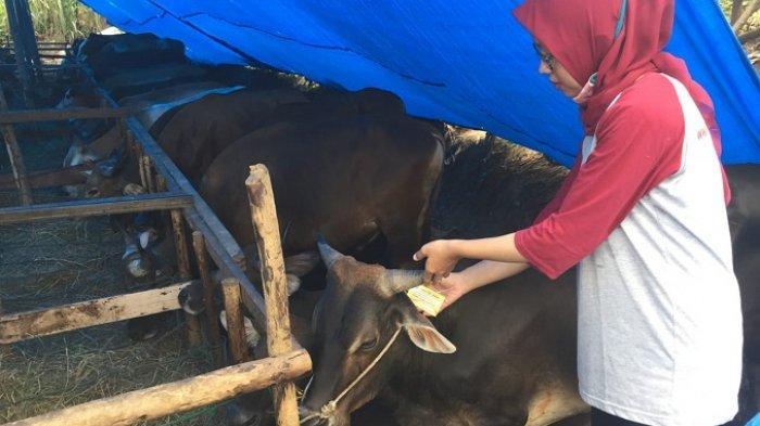Ditemukan 4 Sapi Kurban Berpenyakit di Kuranji Padang, Ada yang Mengandung Cacing Hati