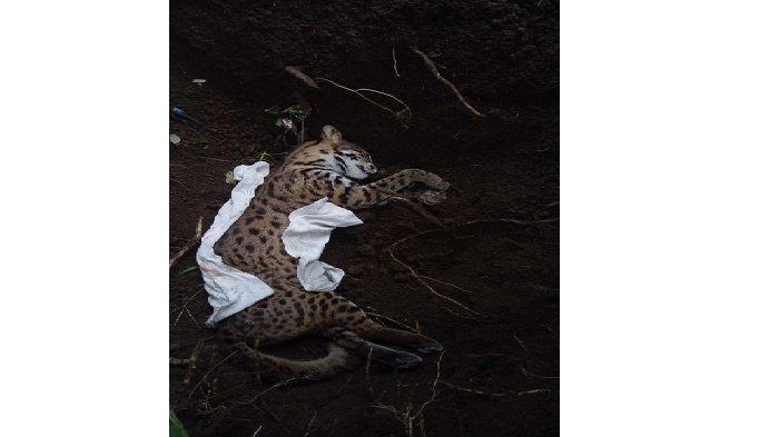 Warga Datangi BKSDA Laporkan Ada Satwa Dilindungi Jenis Kucing Kuwuk Ditemukan Mati di Agam