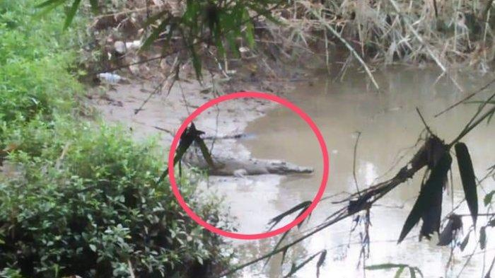 Buaya yang Hebohkan Warga Padang Akhir Pekan Lalu Kembali Muncul, Berjemur di Bawah Jembatan