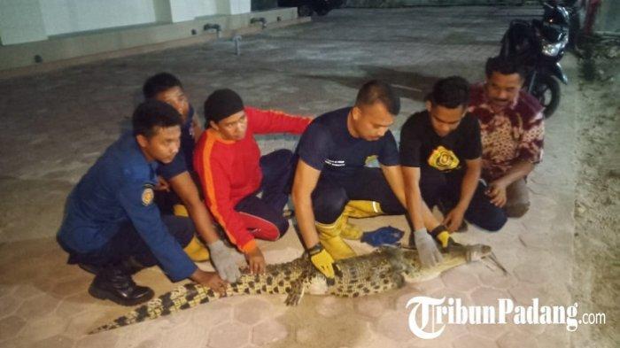 Buaya Terjaring Nelayandi Pantai Carolina Padang, Warga Diimbau Hati-hati Berenang di Laut