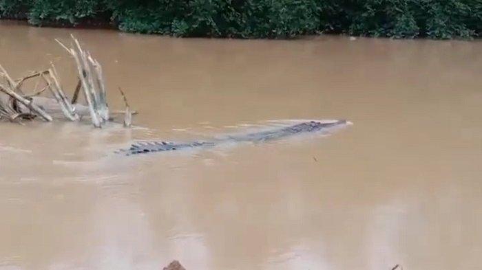 Seekor buaya muncul di sebuah sungai di Kabupaten Dharmasraya, Kamis (6/5/2021).
