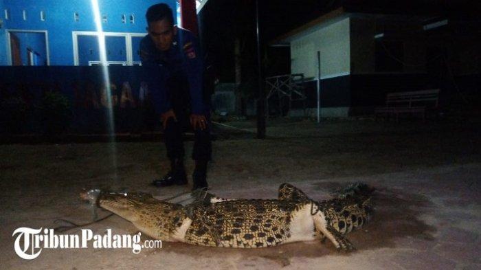 POPULER PADANG - Buaya Terjaring Nelayan di Bungus Padang| Prakiraan Cuaca Sumbar Awal 2020
