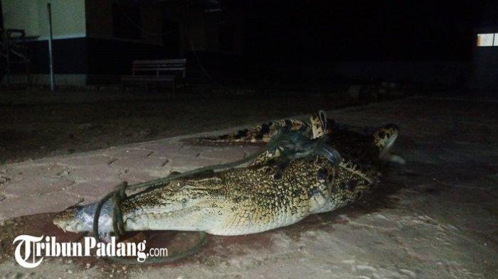 BREAKING NEWS: Buaya Sepanjang 2 Meter Terperangkap Jaring Nelayan di Bungus Padang