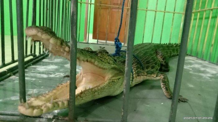 Anak Buaya Muara Diduga Tersesat di Sungai Batang Lolo Agam, Dievakuasi BKSDA Sumbar