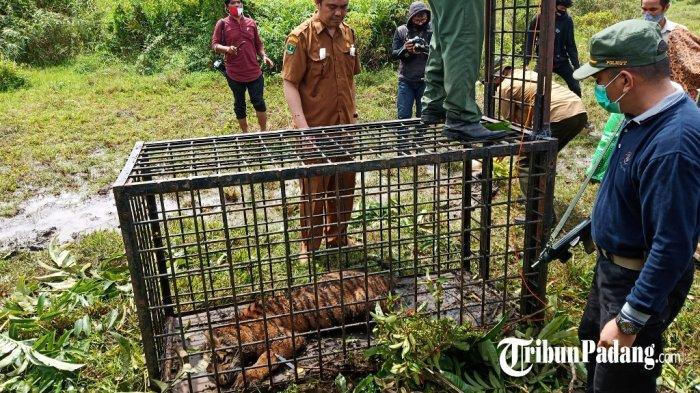 BKSDA Sumbar Sebut 2 Harimau Sumatera yang Tertangkap di Solok Belum Mampu Berburu