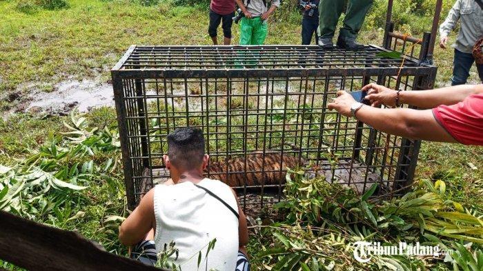 Kambing Mati yang Diterkam Harimau Sumatera di Lubuk Alung Dijadikan Umpan Menangkap Si Belang