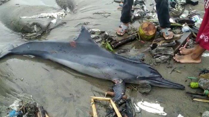 Seekor Lumba-lumba Terdampar di Pantai Muaro Lasak Padang, Warga Temukan Dalam Keadaan Mati