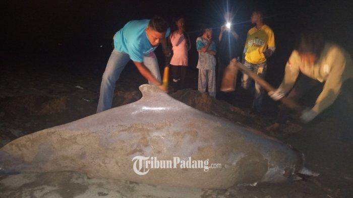 Seekor lumba-lumba mati ditemukan di kawasan Pantai Pasir Jambak, Kota Padang, Sumbar, Sabtu (2/10/2021).