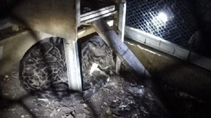 Seekor Macan Sakit Masuk Kampung di Pasaman, Sembunyi di Kolong Rumah, Kini Dirawat Warga