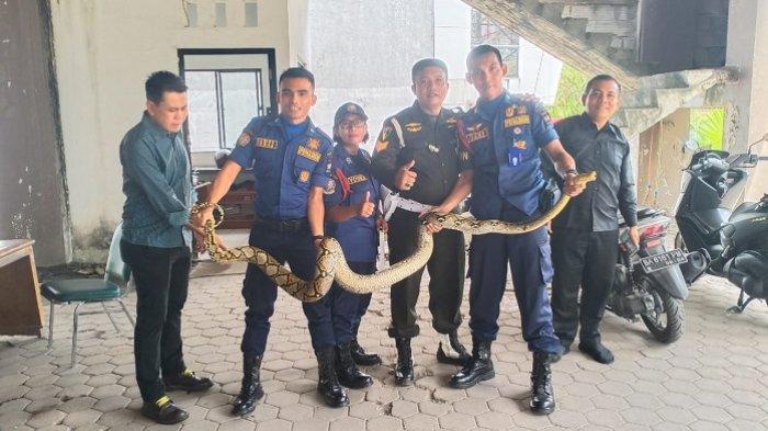 Ular Piton Sepanjang 4 Meter Ditemukan di Hotel Kyriad Bumiminang Padang