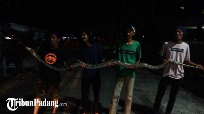 Detik-detik Evakuasi Ular Piton yang Sudah Makan Seratusan Burung Merpati di Padang