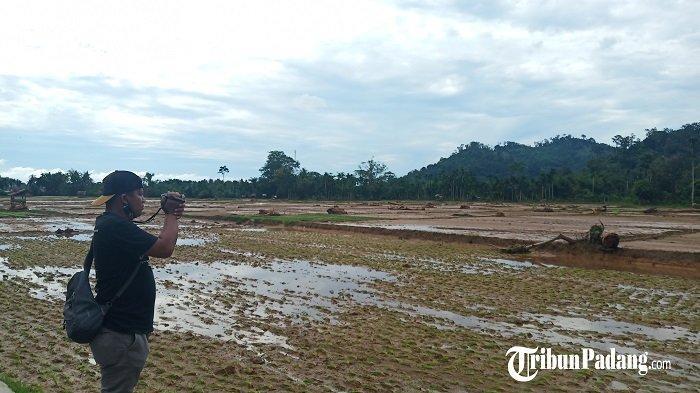 30 Hektar Sawah di Sungai Pisang Ditutupi Lumpur dan Batang Kayu, Ketua RW: Sapi Warga Hanyut 5 Ekor