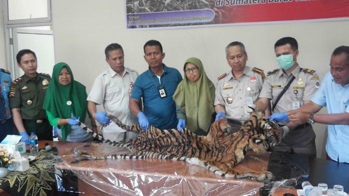Penemuan Kulit Harimau di Bandara Internasional Minangkabau, Tujuan Jakarta, Pengirim di Sijunjung