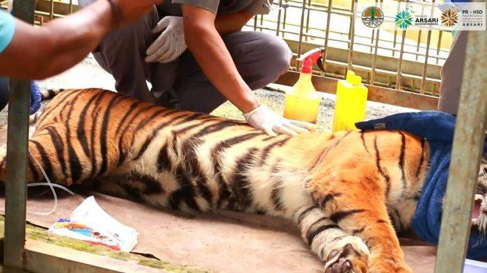 Lepasliarkan Sepasang Harimau Sumatera Putra Singgulung dan Putri Singgulung