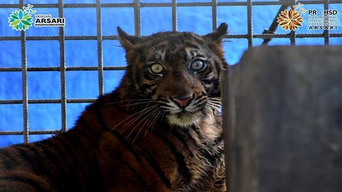 Harimau Ciuniang Nurantih Mengalami Luka Lecet, Ketahuan Seusai Evakuasi ke PR-HSD ARSARI