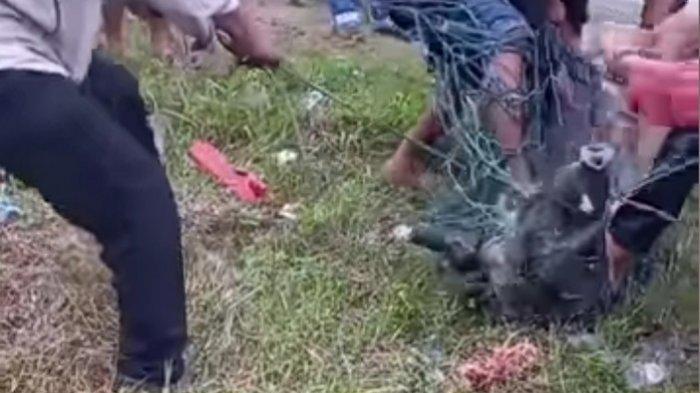 VIRAL Warga Tangkap Babi Hutan di Jalan Sitinjau Lauik, BKSDA Sumbar Sarankan Usir Kembali ke Hutan