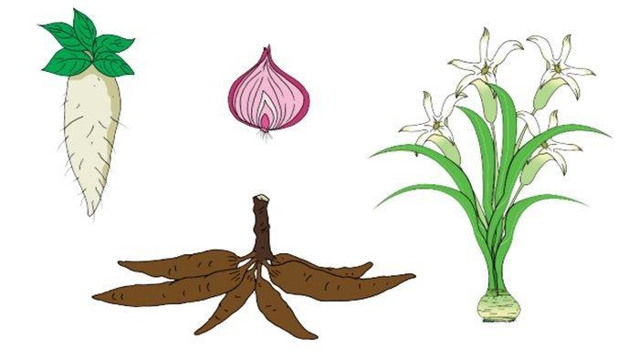 Perkembangbiakan tumbuhan dengan umbi.