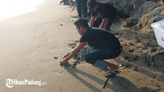 Jambak Sea Turtle Camp Padang Selamatkan Ekosistem, Tetaskan Ribuan Butir Telur Penyu