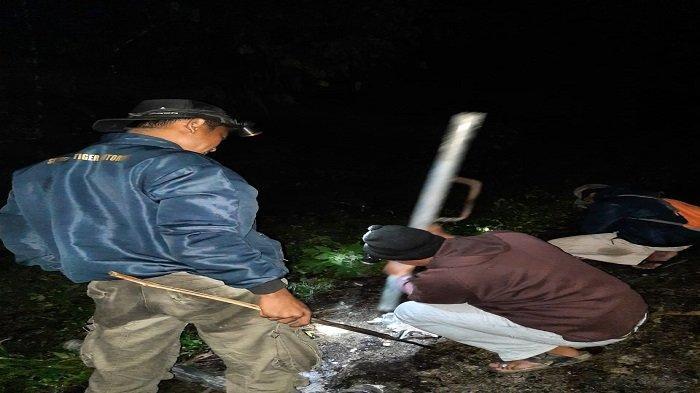 Diduga Harimau Penerkam Kerbau di Agam, Petugas BKSDA Usir Pakai Bunyi-bunyian saat Malam Hari
