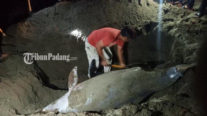 Warga Akhirnya Kubur Lumba-lumba Sepanjang 3 Meter yang Ditemukan Mati di Pantai Pasir Jambak Padang