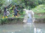 1000-an-induk-ikan-bilih-danau-singkarak-diintroduksi-di-kolam-pemijahan-semen-padang.jpg