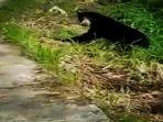 beruang-madu-yang-muncul-di-kelok-35-nagari-matur-mudiak-kecamatan-matur-agam-sumatera-barat.jpg